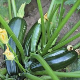 Cultiver la courgette